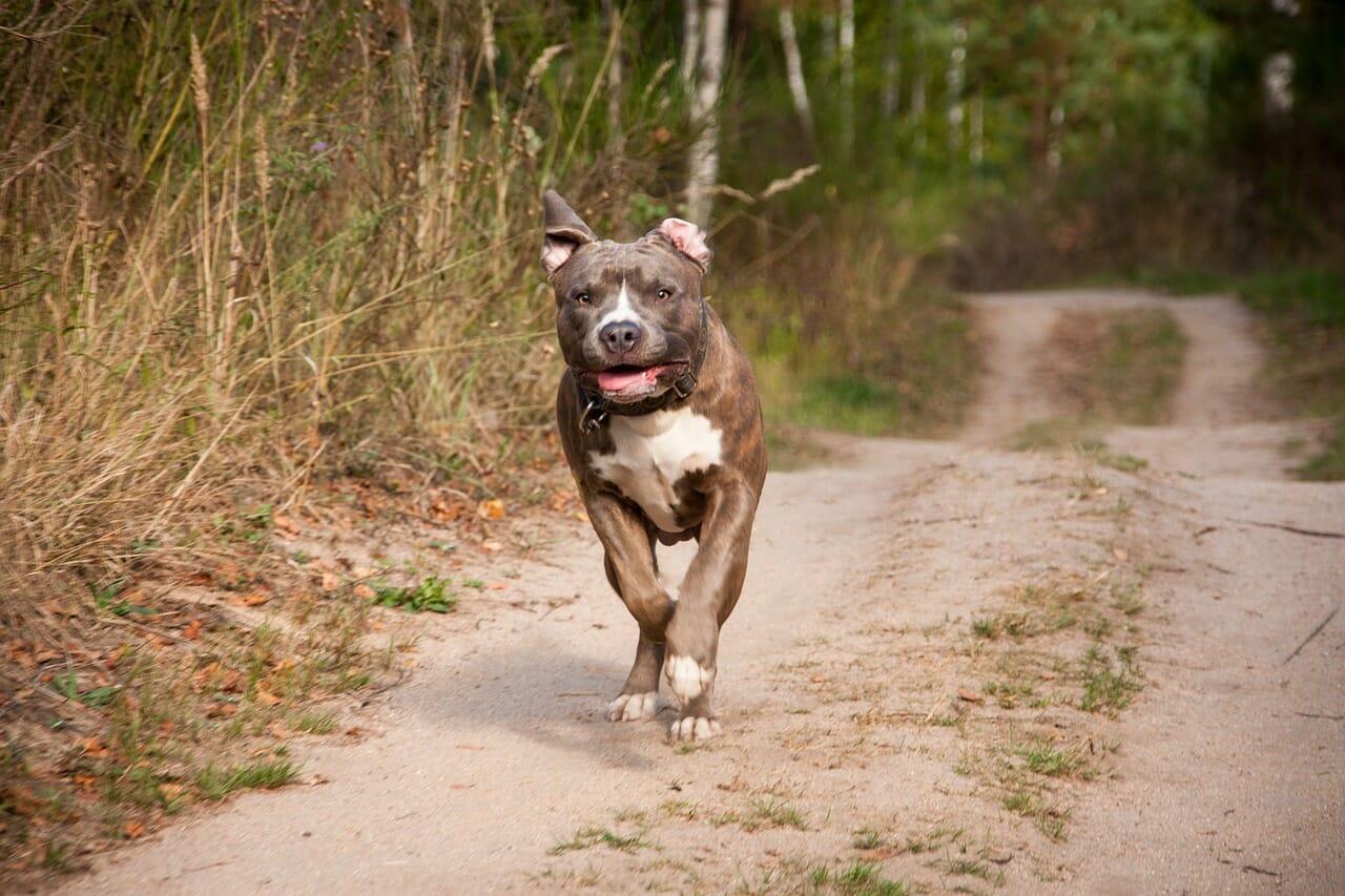 Hnderasse Der American Pitbull Terrier Was Sie Wissen Sollten
